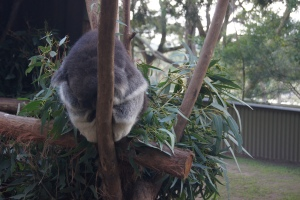 Look at the sleepy Koala! Fun fact: Koala's sleep most of the day and only spend 4 minutes a day moving!